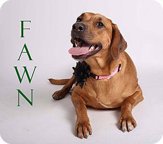 Vizsla/Rhodesian Ridgeback Mix Dog for adoption in Gainesville, Florida - Fawn
