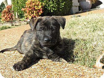 German Shepherd Dog/Labrador Retriever Mix Puppy for adoption in CHAMPAIGN, Illinois - ROMEO