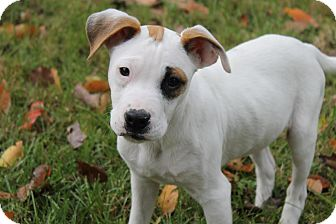 Jack Russell Terrier/Boxer Mix Puppy for adoption in Washington, D.C. - Palmer