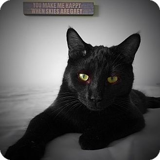 Domestic Shorthair Cat for adoption in Charlotte, North Carolina - A..  Lincoln