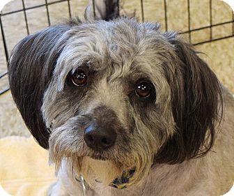 Lhasa Apso Mix Dog for adoption in Las Vegas, Nevada - Lola