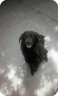 Pomeranian/Labrador Retriever Mix Dog for adoption in Ferndale, Michigan - Maximus