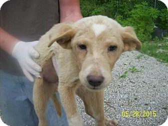 Collie/Labrador Retriever Mix Puppy for adoption in Westwood, New Jersey - Romeo