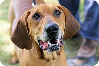 Redbone Coonhound Dog for adoption in Midland, Michigan - Red