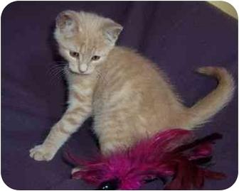 American Shorthair Kitten for adoption in Spencer, New York - Nip