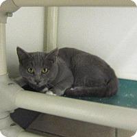 Domestic Shorthair Cat for adoption in Grand Junction, Colorado - Ashton