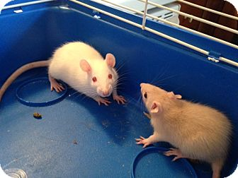 Rat for adoption in Rochester, New York - Kanga & Kessie