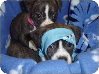 Boston Terrier/Jack Russell Terrier Mix Puppy for adoption in Burnsville, North Carolina - Christian & July