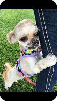 Shih Tzu Mix Dog for adoption in Las Vegas, Nevada - Georgia