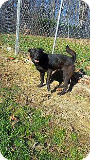 Chow Chow/Shar Pei Mix Dog for adoption in Fairmont, West Virginia - Gobbler