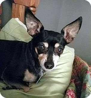 Chihuahua Mix Dog for adoption in Knoxville, Tennessee - Isabella