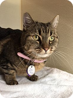 Domestic Shorthair Cat for adoption in Las Vegas, Nevada - Millie