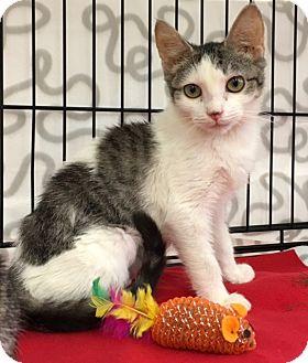 Domestic Shorthair Kitten for adoption in Pasadena, California - Sophie