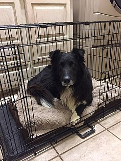 Border Collie Mix Dog for adoption in Allen, Texas - Mason