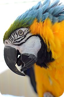 Macaw for adoption in Kanab, Utah - Crystal