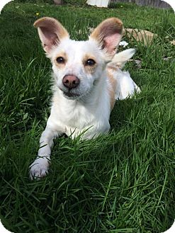 Chihuahua/Chihuahua Mix Dog for adoption in West Allis, Wisconsin - Johnny