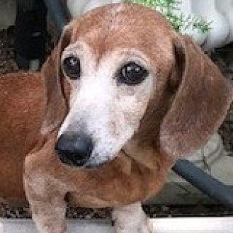 Dachshund Dog for adoption in Houston, Texas - Virginia Vernon