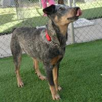 Australian Cattle Dog Mix Dog for adoption in Cocoa, Florida - Millie (Cocoa Center)