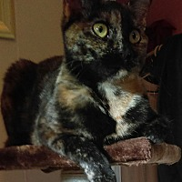 American Shorthair Cat for adoption in Evansville, Indiana - Callie