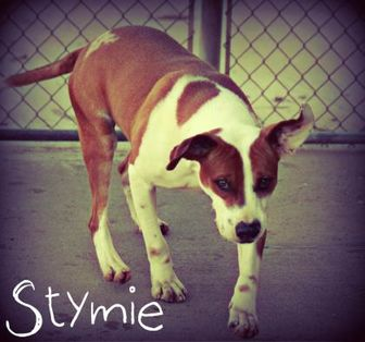 Boxer Mix Dog for adoption in Staley, North Carolina - Stymie