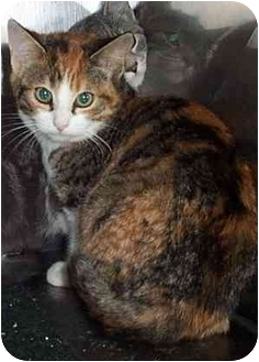 Calico Kitten for adoption in Randolph, New Jersey - Holly