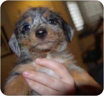 Dachshund/Pomeranian Mix Puppy for adoption in Las Vegas, Nevada - Cobbler  (Adoption Pending)