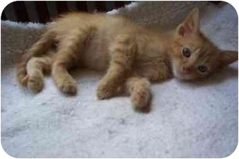 Domestic Shorthair Kitten for adoption in Easley, South Carolina - Pickens