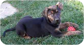 Labrador Retriever/Rottweiler Mix Puppy for adoption in La Habra Heights, California - Vince