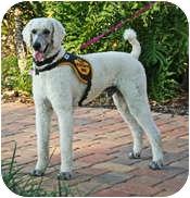 Poodle (Standard) Dog for adoption in Melbourne, Florida - MESHAC