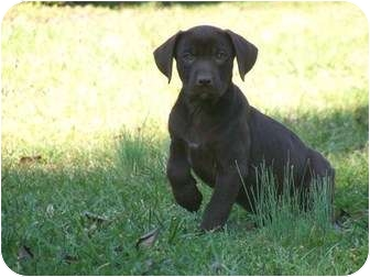 Labrador Retriever/Pit Bull Terrier Mix Puppy for adoption in Broadway, New Jersey - London