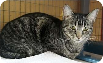 Domestic Shorthair Cat for adoption in Houston, Texas - Tiger