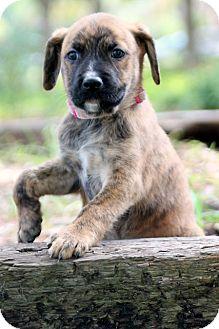 Border Collie/Anatolian Shepherd Mix Puppy for adoption in Austin, Texas - Abby (Big Red)
