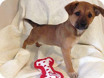 Shepherd (Unknown Type)/Labrador Retriever Mix Puppy for adoption in East Hartford, Connecticut - PHOEBE in Manchester CT
