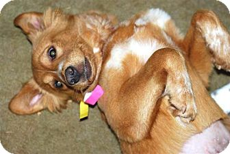 Nova Scotia Duck-Tolling Retriever Mix Dog for adoption in New Boston, New Hampshire - Butterscotch