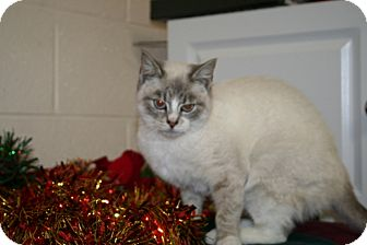 Siamese Cat for adoption in Spring Valley, New York - Snow White