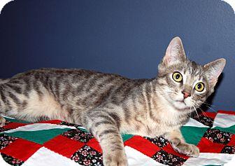 Domestic Shorthair Cat for adoption in Overland Park, Kansas - Sullivan