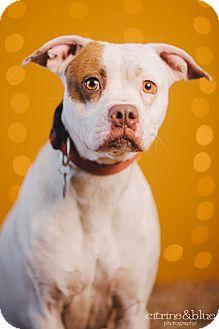 Boxer/Pointer Mix Dog for adoption in Portland, Oregon - Candice