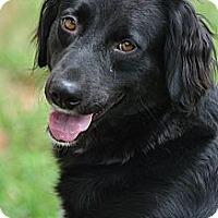 Adopt A Pet :: Audrey - New Canaan, CT