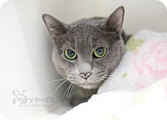 Domestic Shorthair Cat for adoption in Reisterstown, Maryland - Mouse