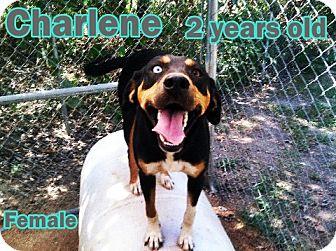 Black and Tan Coonhound/Catahoula Leopard Dog Mix Dog for adoption in Boaz, Alabama - Charlene