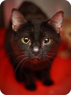Domestic Shorthair Cat for adoption in Cleveland, Ohio - Boyo