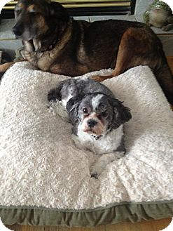 Bichon Frise/Shih Tzu Mix Dog for adoption in High River, Alberta - Francis