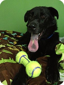 German Shepherd Dog/Labrador Retriever Mix Dog for adoption in Murfreesboro, Tennessee - Buzz