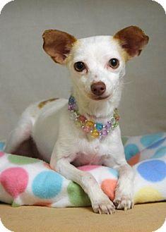 Chihuahua Mix Dog for adoption in Dublin, California - Rosie