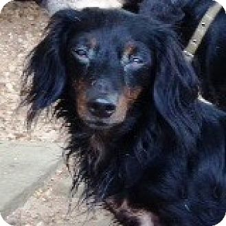 Dachshund Dog for adoption in Houston, Texas - Tia Taffeta