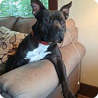 Adopt A Pet :: SHUGZ - Ojai, CA