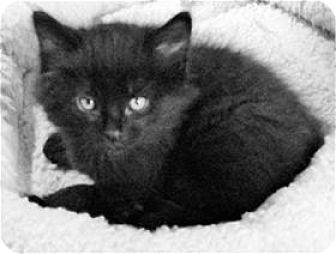 Domestic Mediumhair Kitten for adoption in Rocklin, California - Timex & Rolex (Rolex)