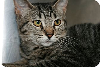 Domestic Shorthair Kitten for adoption in Yucca Valley, California - Reeses Dylan Silverbullet