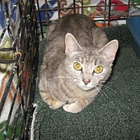 Domestic Shorthair Cat for adoption in Coos Bay, Oregon - Schyler