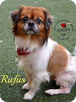 Pekingese/Cavalier King Charles Spaniel Mix Dog for adoption in Youngwood, Pennsylvania - Rufus